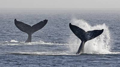 PHOTOS: Humpback whale baby boom brings calves to Salish Sea