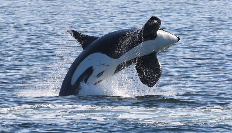 Biggs killer whale