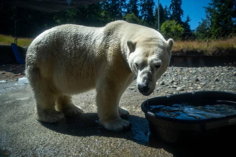 Elderly polar bear Blizzard diagnosed with cancer