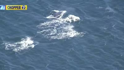 RAW VIDEO: Orca Pod Playing Near Vashon Island