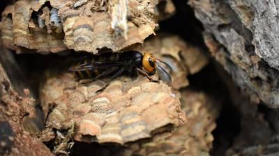 WSDA staff destroys first Asian giant hornet nest of 2021