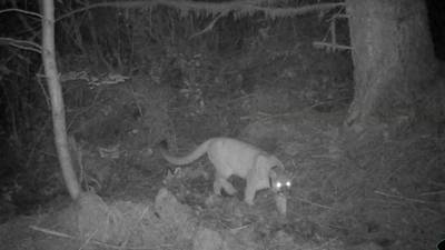 No cougar at Discovery Park, but WDFW says big cats are closer than you might think
