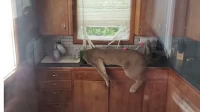 RAW: Police chase cougar through Ephrata neighborhood