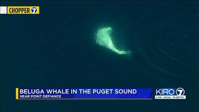 Beluga whale spotted swimming in Puget Sound for first time since 1940