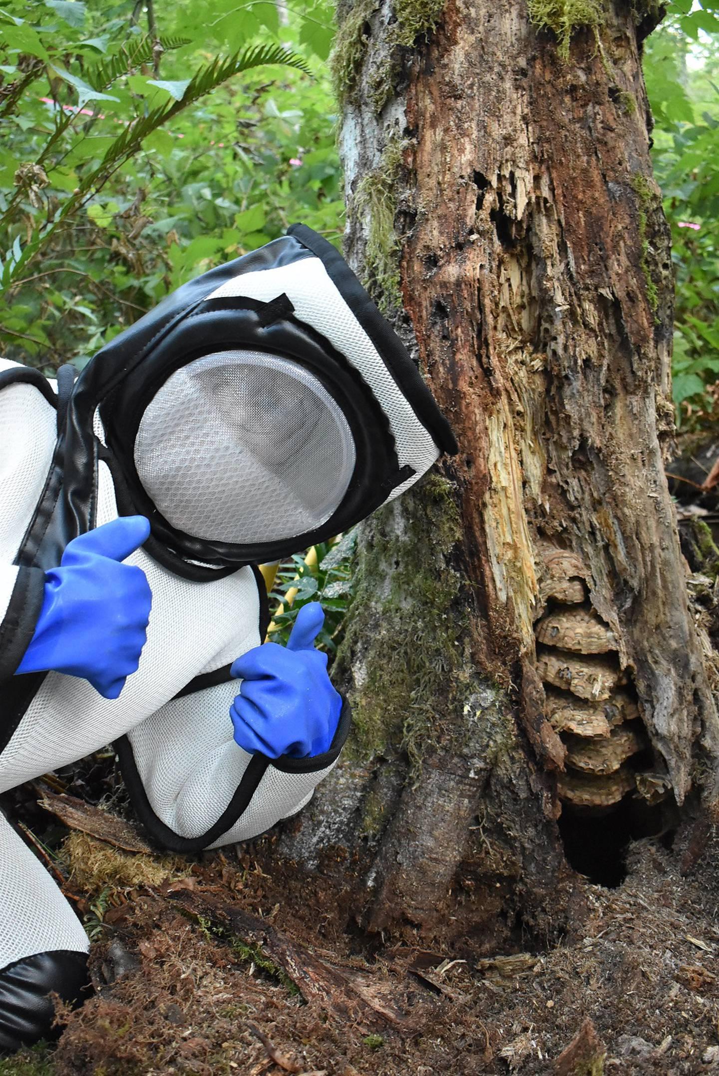 First Asian giant hornet nest of 2021